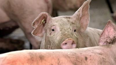 Gospodarii care și-au sacrificat porcii din cauza pestei porcine vor primi despăgubiri a câte 28 de lei pentru un kilogram de masă vie de porc