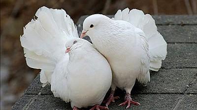Cele mai rare specii de porumbei, admirate în cadrul unei expoziţii organizate la Durleşti. Peste 200 de columbofili și-au adus cele mai alese exemplare
