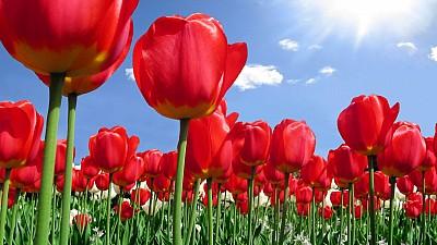 Imaginea zilei: Ziua Națională a Lalelelor, sărbătorită în Olanda. Florile pot fi admirate, fotografiate și culese gratuit