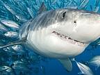 Imaginea zilei: O echipă de scafandri a avut o întâlnire neașteptată cu unul dintre cei mai mari rechini albi din Hawaii