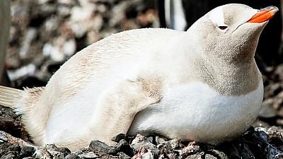 Imaginea zilei: La grădina zoologică din orașul Gdansk a fost prezentat un pinguin albinos