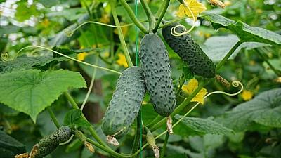 Secretul unei recolte bogate de castraveți, descoperit de un agricultor din raionul Briceni