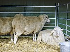 Cea mai bună vodkă din Lume este făcută din lapte de oi