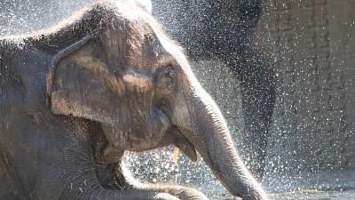 Imaginea zilei: Îngrijitorii grădinei zoologice din Berlin le-au făcut elefanţilor duşuri cu apă rece
